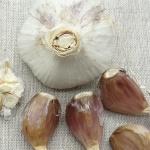 Americky Maly garlic