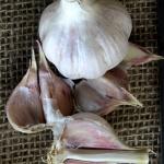 Chesnock Red garlic